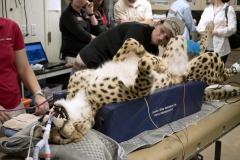 Gepard znieczulony ogólnie do leczenia kanałowego kła - Staż w Phoenix, Arizona (USA)