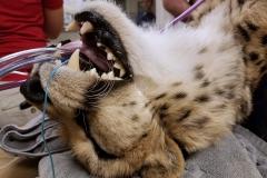 Powikłane złamanie kła u geparda - Staż w Phoenix, Arizona (USA)
